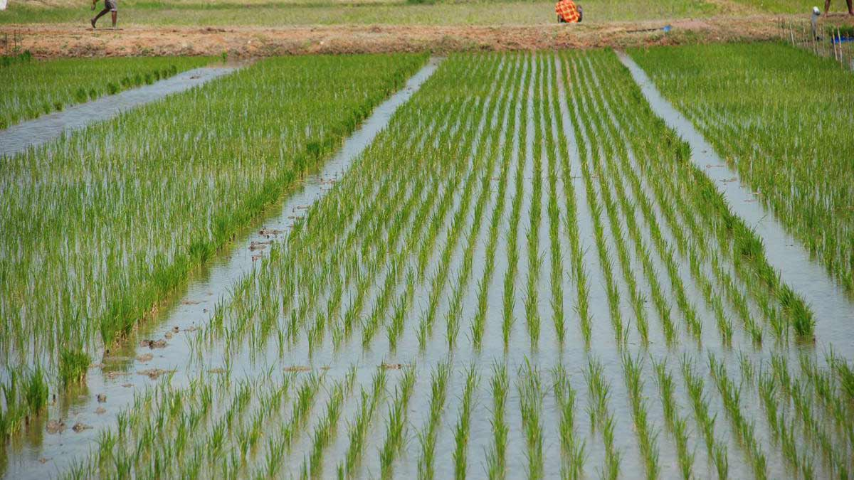 Uzbekistan To Purchase New Technology From South Korea For Rice Cultivation